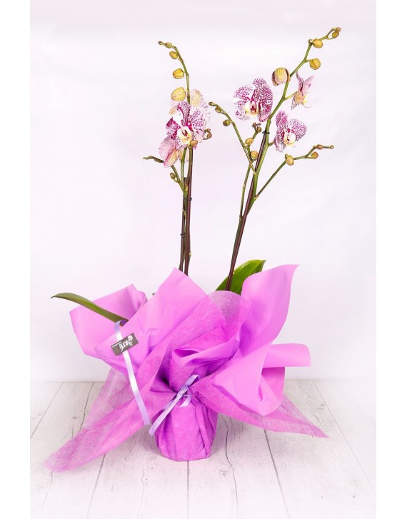 (OR106) Orchids as a gift