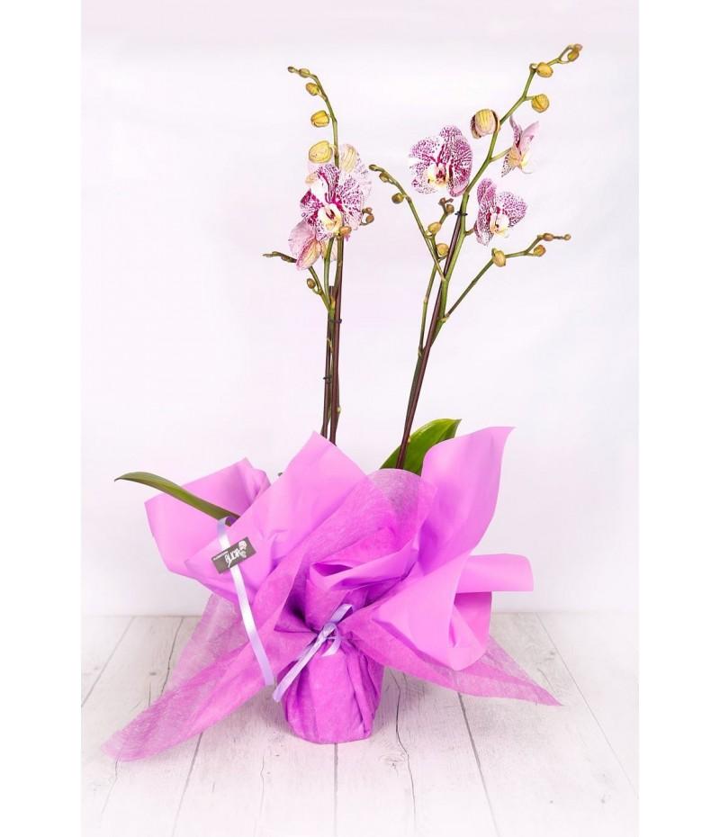 (OR106) Orquideas para regalo