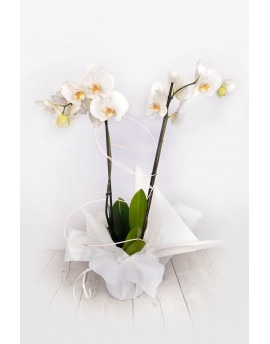 (OR108) White orchids as a gift