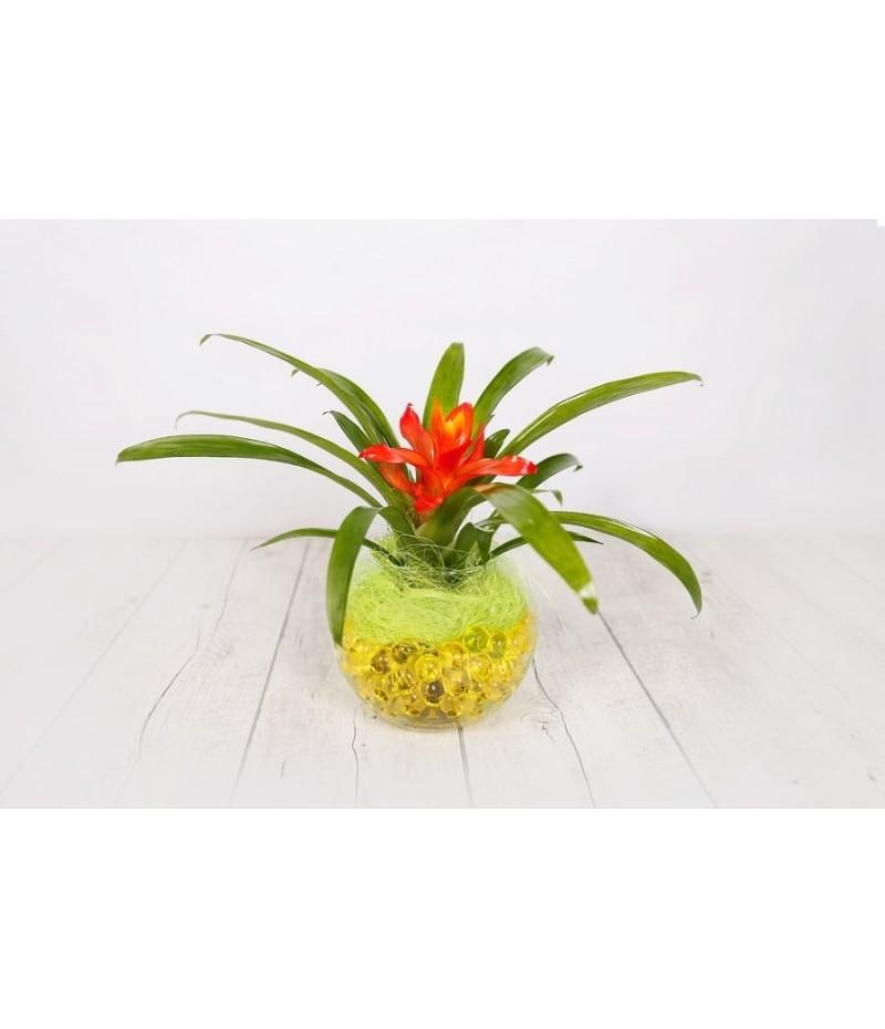 (PL103) Small guzmania plant in glass vase