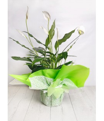 (PL108) Spatifillium plant as a gift