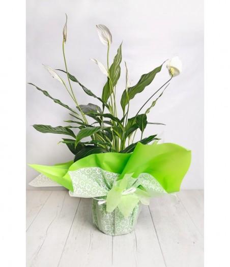 Plant as a gift spatifillium