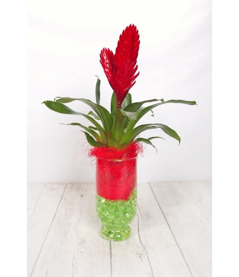 (PL109) Billbergia plant in glass vase