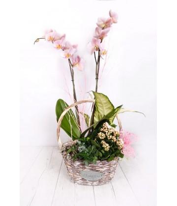 (PL112) Plant basket orchids