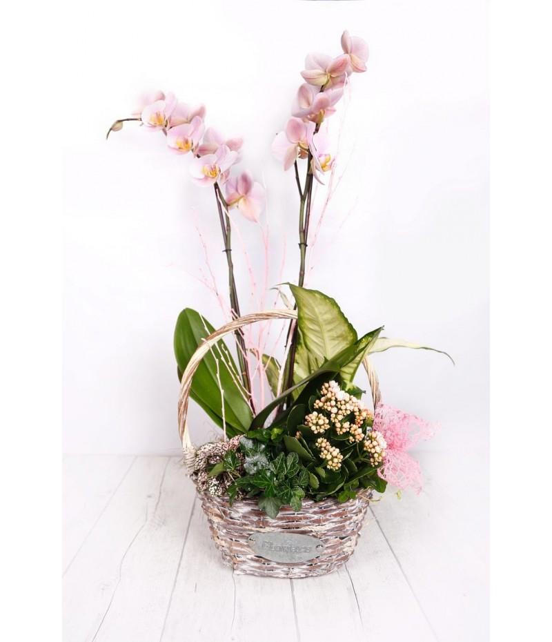 (PL112) Cesta planta orquideas