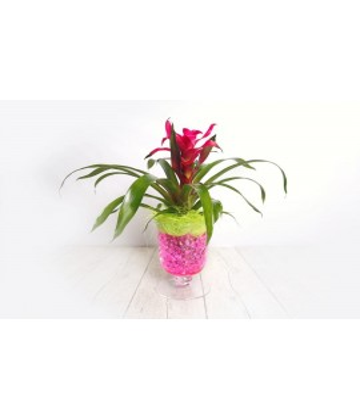 (PL102) Medium guzmania plant in glass vase
