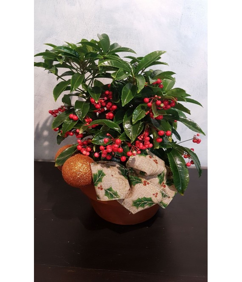 (CA102) Christmas plant (Ardisia)