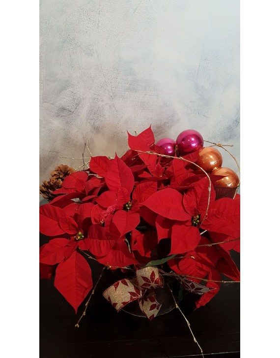 (CA109) Poinsettia display with Christmas decorations
