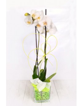 Orchids white crystal