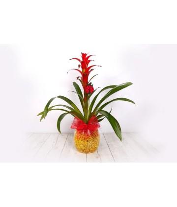 Plant guzmania cristal