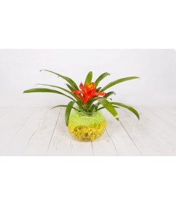 Plant guzmania small crystal