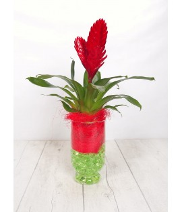 Plant bilbergia crystal