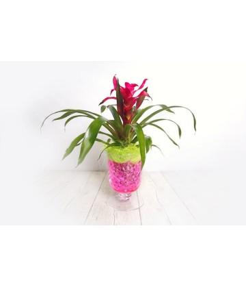 Medium guzmania plant in glass vase