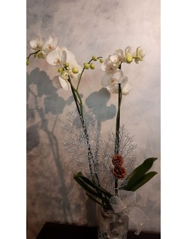 Christmas Orchid