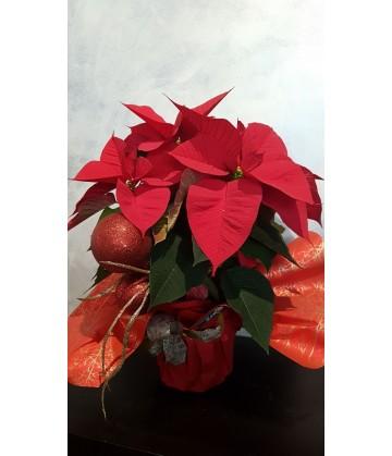 Poinsettia plant gift wrapped