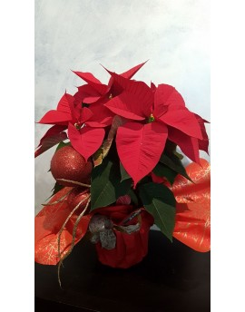 Poinsettia plant gift wrapped (large)
